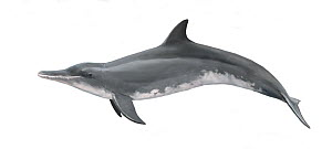 Rough-toothed dolphin (Steno bredanensis) adult female     No more than 15 illustrations by Martin Camm, Rebecca Robinson and/or Toni Llobet to be used in a single project or book edition, except b...  -  Toni Llobet / Carwardine