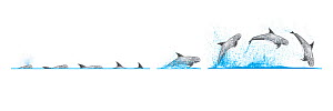Risso's dolphin (Grampus griseus) Dive sequence and breaching     No more than 15 illustrations by Martin Camm, Rebecca Robinson and/or Toni Llobet to be used in a single project or book edition, e...  -  Rebecca Robinson / Carwardine