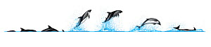 Peale's dolphin (Lagenorhynchus australis) Dive sequence - slow swimming - and breaching     No more than 15 illustrations by Martin Camm, Rebecca Robinson and/or Toni Llobet to be used in a single...  -  Rebecca Robinson / Carwardine