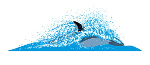 Peale's dolphin (Lagenorhynchus australis) Dive sequence - fast swimming     No more than 15 illustrations by Martin Camm, Rebecca Robinson and/or Toni Llobet to be used in a single project or book...  -  Rebecca Robinson / Carwardine