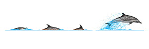 Pantropical spotted dolphin (Stenella attenuata) Dive sequence and breaching     No more than 15 illustrations by Martin Camm, Rebecca Robinson and/or Toni Llobet to be used in a single project or...  -  Rebecca Robinson / Carwardine