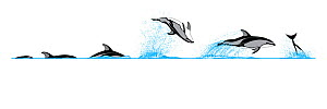 Pacific white-sided dolphin (Lagenorhynchus obliquidens) Dive sequence - porpoising - breaching     No more than 15 illustrations by Martin Camm, Rebecca Robinson and/or Toni Llobet to be used in a...  -  Rebecca Robinson / Carwardine
