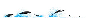 Northern right whale dolphin (Lissodelphis borealis) Dive sequence - fast swimming and breaching     No more than 15 illustrations by Martin Camm, Rebecca Robinson and/or Toni Llobet to be used in...  -  Rebecca Robinson / Carwardine