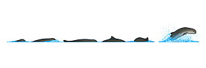 Irrawaddy dolphin (Orcaella brevirostris) Dive sequence and breaching     No more than 15 illustrations by Martin Camm, Rebecca Robinson and/or Toni Llobet to be used in a single project or book ed...  -  Rebecca Robinson / Carwardine