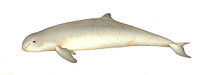 Irrawaddy dolphin (Orcaella brevirostris) adult colour variation     No more than 15 illustrations by Martin Camm, Rebecca Robinson and/or Toni Llobet to be used in a single project or book edition...  -  Martin Camm / Carwardine