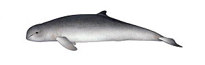 Irrawaddy dolphin (Orcaella brevirostris) adult     No more than 15 illustrations by Martin Camm, Rebecca Robinson and/or Toni Llobet to be used in a single project or book edition, except by prior...  -  Martin Camm / Carwardine
