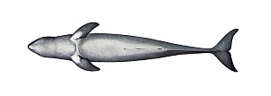 Irrawaddy dolphin (Orcaella brevirostris) adult underside     No more than 15 illustrations by Martin Camm, Rebecca Robinson and/or Toni Llobet to be used in a single project or book edition, excep...  -  Martin Camm / Carwardine