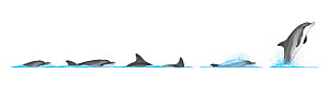 Indo-Pacific bottlenose dolphin (Tursiops aduncus) Dive sequence and breaching     No more than 15 illustrations by Martin Camm, Rebecca Robinson and/or Toni Llobet to be used in a single project o...  -  Rebecca Robinson / Carwardine