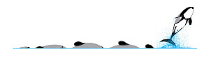 Hector's dolphin (Cephalorhynchus hectori) Dive sequence and breaching     No more than 15 illustrations by Martin Camm, Rebecca Robinson and/or Toni Llobet to be used in a single project or book e...  -  Rebecca Robinson / Carwardine