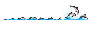Guiana dolphin (Sotalia guianensis) dive sequence - fast swimming and leaping / breaching     No more than 15 illustrations by Martin Camm, Rebecca Robinson and/or Toni Llobet to be used in a singl...  -  Rebecca Robinson / Carwardine