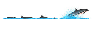 Fraser's dolphin (Lagenodelphis hosei) Dive sequence and breaching     No more than 15 illustrations by Martin Camm, Rebecca Robinson and/or Toni Llobet to be used in a single project or book editi...  -  Rebecca Robinson / Carwardine