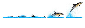 Common dolphin (Delphinus delphis) Dive sequence and breaching     No more than 15 illustrations by Martin Camm, Rebecca Robinson and/or Toni Llobet to be used in a single project or book edition,...  -  Rebecca Robinson / Carwardine