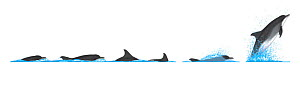 Common bottlenose dolphin (Tursiops truncatus) Dive sequence and breaching     No more than 15 illustrations by Martin Camm, Rebecca Robinson and/or Toni Llobet to be used in a single project or bo...  -  Rebecca Robinson / Carwardine