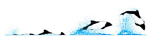 Commerson's dolphin (Cephalorhynchus commersonii) Dive sequence - slow swimming and fast swimming - and breaching     No more than 15 illustrations by Martin Camm, Rebecca Robinson and/or Toni Llob...  -  Rebecca Robinson / Carwardine