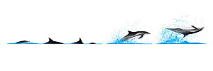 Clymene dolphin (Stenella clymene) Dive sequence - porpoising - spinning longitudinally     No more than 15 illustrations by Martin Camm, Rebecca Robinson and/or Toni Llobet to be used in a single...  -  Rebecca Robinson / Carwardine