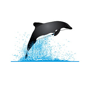 Chilean dolphin (Cephalorhynchus eutropia) Breaching     No more than 15 illustrations by Martin Camm, Rebecca Robinson and/or Toni Llobet to be used in a single project or book edition, except by...  -  Rebecca Robinson / Carwardine