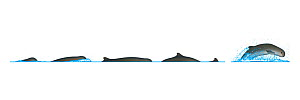 Australian snubfin dolphin (Orcaella heinsohni) Dive sequence and breaching     No more than 15 illustrations by Martin Camm, Rebecca Robinson and/or Toni Llobet to be used in a single project or b...  -  Rebecca Robinson / Carwardine