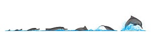 Australian humpback dolphin (Sousa sahulensis) Dive sequence and breaching     No more than 15 illustrations by Martin Camm, Rebecca Robinson and/or Toni Llobet to be used in a single project or bo...  -  Rebecca Robinson / Carwardine