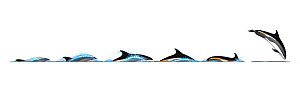 Atlantic white-sided dolphin (Lagenorhynchus acutus) Dive sequence and breaching     No more than 15 illustrations by Martin Camm, Rebecca Robinson and/or Toni Llobet to be used in a single project...  -  Rebecca Robinson / Carwardine