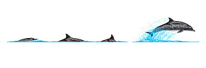 Atlantic spotted dolphin (Stenella frontalis) Dive sequence and breaching     No more than 15 illustrations by Martin Camm, Rebecca Robinson and/or Toni Llobet to be used in a single project or boo...  -  Rebecca Robinson / Carwardine