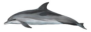 Atlantic spotted dolphin (Stenella frontalis) adult lightly spotted form     No more than 15 illustrations by Martin Camm, Rebecca Robinson and/or Toni Llobet to be used in a single project or book...  -  Toni Llobet / Carwardine