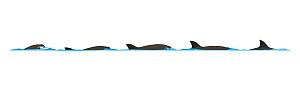 Vaquita (Phocoena sinus) Dive sequence     No more than 15 illustrations by Martin Camm, Rebecca Robinson and/or Toni Llobet to be used in a single project or book edition, except by prior written...  -  Rebecca Robinson / Carwardine