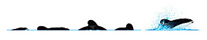 Spectacled porpoise (Phocoena dioptrica) Dive sequence     No more than 15 illustrations by Martin Camm, Rebecca Robinson and/or Toni Llobet to be used in a single project or book edition, except b...  -  Rebecca Robinson / Carwardine