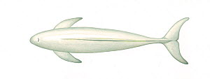 Narrow-ridged finless porpoise (Neophocaena asiaeorientalis) adult East Asian subspecies - Japanese colour morph - upperside     No more than 15 illustrations by Martin Camm, Rebecca Robinson and/o...  -  Martin Camm / Carwardine