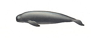 Narrow-ridged finless porpoise (Neophocaena asiaeorientalis) adult Yangtze subspecies     No more than 15 illustrations by Martin Camm, Rebecca Robinson and/or Toni Llobet to be used in a single pr...  -  Martin Camm / Carwardine