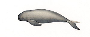 Narrow-ridged finless porpoise (Neophocaena asiaeorientalis) calf     No more than 15 illustrations by Martin Camm, Rebecca Robinson and/or Toni Llobet to be used in a single project or book editio...  -  Martin Camm / Carwardine