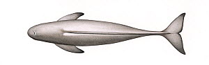 Narrow-ridged finless porpoise (Neophocaena asiaeorientalis) adult East Asian subspecies upperside     No more than 15 illustrations by Martin Camm, Rebecca Robinson and/or Toni Llobet to be used i...  -  Martin Camm / Carwardine