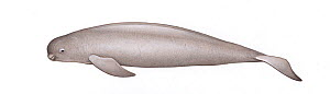 Narrow-ridged finless porpoise (Neophocaena asiaeorientalis) adult East Asian subspecies     No more than 15 illustrations by Martin Camm, Rebecca Robinson and/or Toni Llobet to be used in a single...  -  Martin Camm / Carwardine