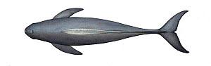 Indo-Pacific finless porpoise (Neophocaena phocaenoides) adult upperside     No more than 15 illustrations by Martin Camm, Rebecca Robinson and/or Toni Llobet to be used in a single project or book...  -  Martin Camm / Carwardine