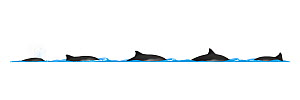 Harbour porpoise (Phocoena phocoena) Dive sequence     No more than 15 illustrations by Martin Camm, Rebecca Robinson and/or Toni Llobet to be used in a single project or book edition, except by pr...  -  Rebecca Robinson / Carwardine