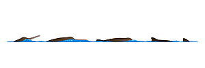 Franciscana dolphin (Pontoporia blainvillei) Dive sequence     No more than 15 illustrations by Martin Camm, Rebecca Robinson and/or Toni Llobet to be used in a single project or book edition, exce...  -  Rebecca Robinson / Carwardine