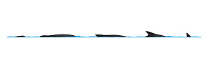 Burmeister's porpoise (Phocoena spinipinnis) dive sequence     No more than 15 illustrations by Martin Camm, Rebecca Robinson and/or Toni Llobet to be used in a single project or book edition, exce...  -  Rebecca Robinson / Carwardine