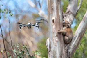 Drone, operated by a member of the Victorian Police Remote Piloted Aircraft Systems (Police Air Wing, Specialist Response Division) hovers near a koala (Phascolarctos cinereus). This drone is being us... - Doug Gimesy