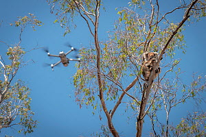 Drone, operated bya member of the Victorian Police Remote Piloted Aircraft Systems (Police Air Wing, Specialist Response Division) hovers near a koala (Phascolarctos cinereus). This drone is being use...  -  Doug Gimesy