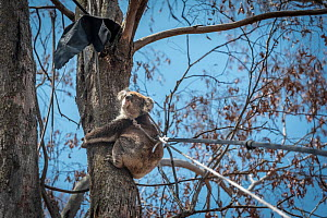 Forest and Wildlife officer collecting a koala (Phascolarctos cinereus) from a tree using a rope so it can have a health check following bush fires in the area. Gelantipy, Victoria, Australia. January...  -  Doug Gimesy