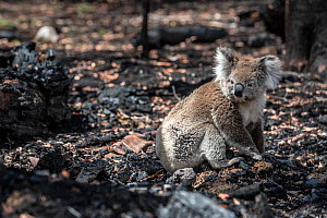 Koala (Phascolarctos cinereus) that has come down from a tree after a bush fire in the area, sits on the burnt ground. Gelantipy, Victoria, Australia. January 2020 - Doug Gimesy