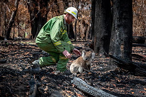 Koala (Phascolarctos cinereus) that has come down from a tree after a bush fire and is walking across burnt ground, is collected by Forest and Wildlife Officer Lachlan Clarke. Gelantipy, Victoria, Aus...  -  Doug Gimesy
