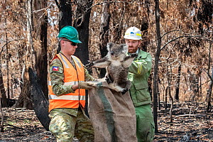 Koala (Phascolarctos cinereus) that was found walking across burnt ground after a fire, is collected by Forest and Wildlife Lachlan Clarke, (right), assisted by a member of the Australian Defence Forc... - Doug Gimesy