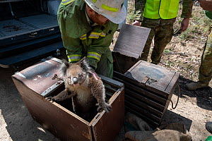 Forest and wildlife officer (assisted by members of the Australian Defence Force) transfers a Koala (Phascolarctos cinereus) that has been captured for a health check following bush fires in the area,...  -  Doug Gimesy