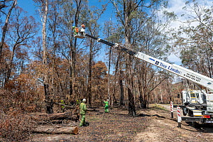 'Cherry picker' ascends with a Forest and Wildlife officer to collect a Koala (Phascolarctos cinereus) from the tree so it can have a health check following bush fires in the area. Gelantipy, Vict...  -  Doug Gimesy
