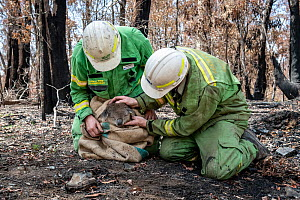 Forest and Wildlife officers do a preliminary health check on a Koala (Phascolarctos cinereus) that has been brought down from a tree to be checked for burns and weight after a bush fire in the area.~...  -  Doug Gimesy
