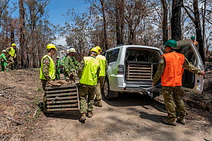 Koala (Phascolarctos cinereus) that has been captured for a health check following bush fires in the area, is transported in a crate to a vehicle by members of the Australian Defence Force. It will th... - Doug Gimesy
