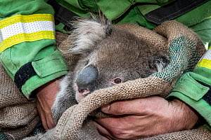 Koala (Phascolarctos cinereus) that was been captured for a health check following bush fires in the area, is held and checked by Forest and Wildlife officer Lachlan Clarke. After an initial assessmen...  -  Doug Gimesy