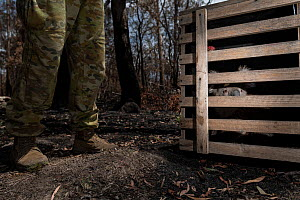 Koala (Phascolarctos cinereus) that has been captured for a health check following bush fires in the area, in crate prior to transport to the Bairnsdale wildlife triage centre - which had been set up... - Doug Gimesy