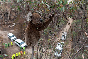 Koala (Phascolarctos cinereus) in a Eucalyptus tree after recent bushfires, just before having a visual inspection for its health. If it is determined that a closer examination is required to determin... - Doug Gimesy