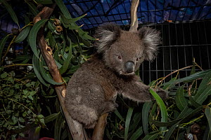 Koala (Phascolarctos cinereus) in a cage at the Mallacoota wildlife triage centre (which was a public hall until the fires). This Koala is being treated for burns. Mallacoota, Victoria, Australia. Jan... - Doug Gimesy